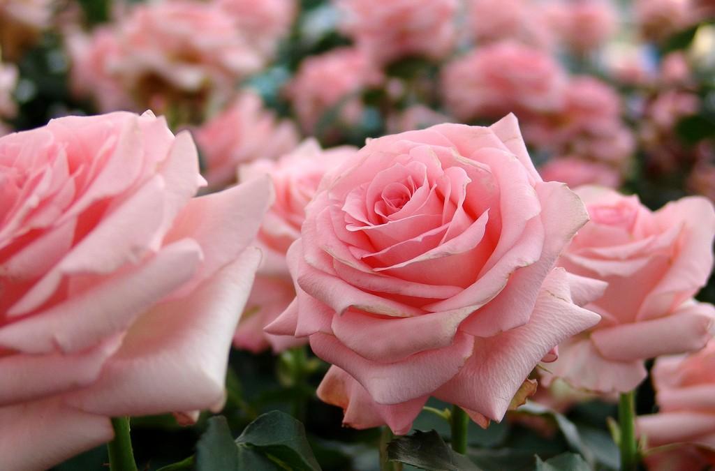 Drei Rosengärten zum Zeichen des Friedens